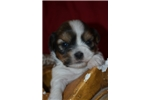 Picture of edgar arf  - male sable & white shorkie for sale