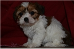 Picture of Freckles - male sable and white shorkie for sale