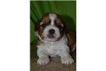 Picture of Stoyko - male sable & white shorkie for sale