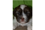 Picture of Arthur ruff - male liver & white shorkie for sale