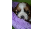Picture of Petros- male sable & white shorkie for sale