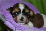 Picture of Nikolai - male sable & white shorkie for sale