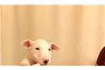 Picture of Oscar - Bull Terrier puppy