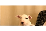 Miniature Bull Terrier for sale
