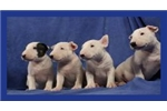 Bull Terrier puppies | Puppy at 8 weeks of age for sale