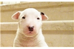 Oscar - Bull Terrier puppy | Puppy at 10 weeks of age for sale