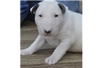 Picture of Bull Terrier puppies