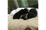 Picture of Akc Boston terrier puppies