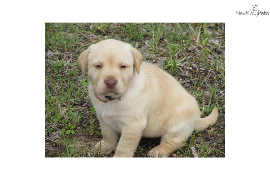 AKC English Labrador Puppies | Labrador Retriever puppy for sale near ...