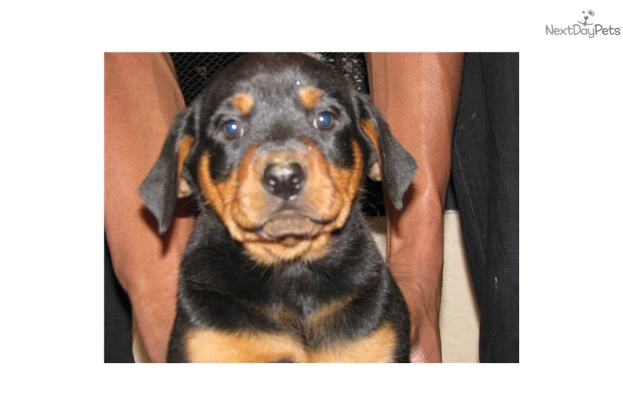 Rottweiler puppies for sale in texas dallas