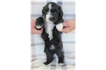 Picture of Black Wavy w/ White Markings - Health Tested
