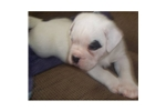 Picture of an Alapaha Blue Blood Bulldog Puppy