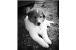 Picture of Blanco - AKC - Health testing