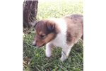 Picture of Little Lass - AKC - Health testing