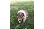 Picture of  Sable boy AKC Health testing
