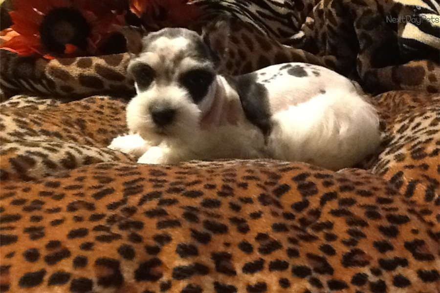 ... teacup schnauzer puppies for sale teacup toy schnauzer puppy pictures
