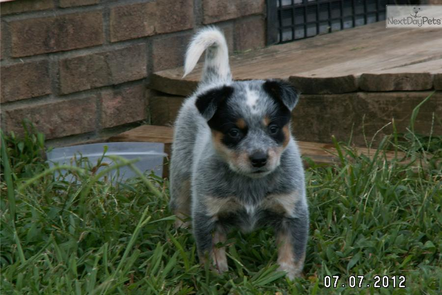 Australian Cattle Dog Puppies For Sale In North Carolina