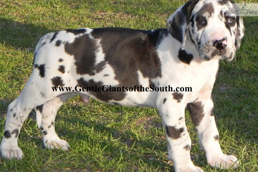 Harlequin great dane puppy blue eyes
