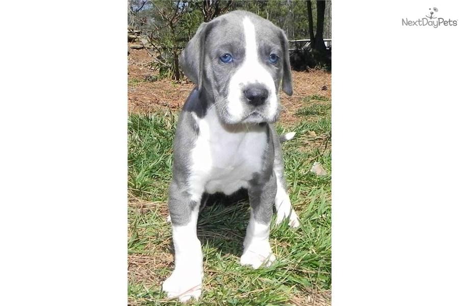sale-this-week---blue-mantle--female--great-danedog-great-dane-puppy    Blue Mantle Great Dane