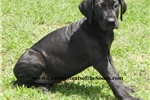 Picture of SALE TODAY $500 -  European Black Female