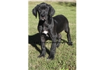 Picture of SALE-Euro Black Female is gorgeous