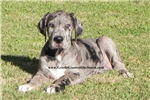 Picture of SALE Beautiful Merle Female Available