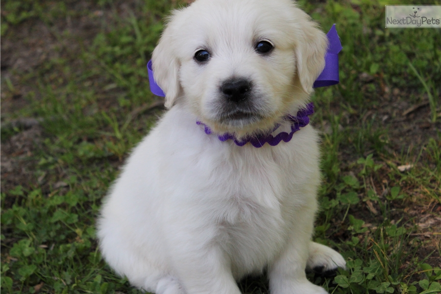 english golden retriever adults md