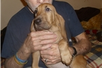 Picture of Lady Nimmie - A Litter from Camelot