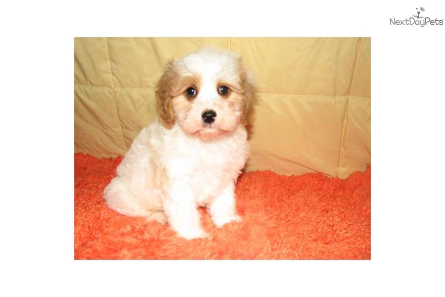 Cavapoo Dogs For Sale In Michigan