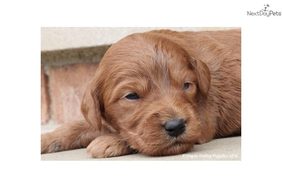 Goldendoodle puppy for sale near lexington kentucky 449111e2 5581