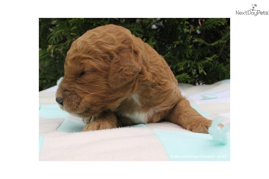 Goldendoodle puppy for sale near lexington kentucky b13cd1b6 0cf1