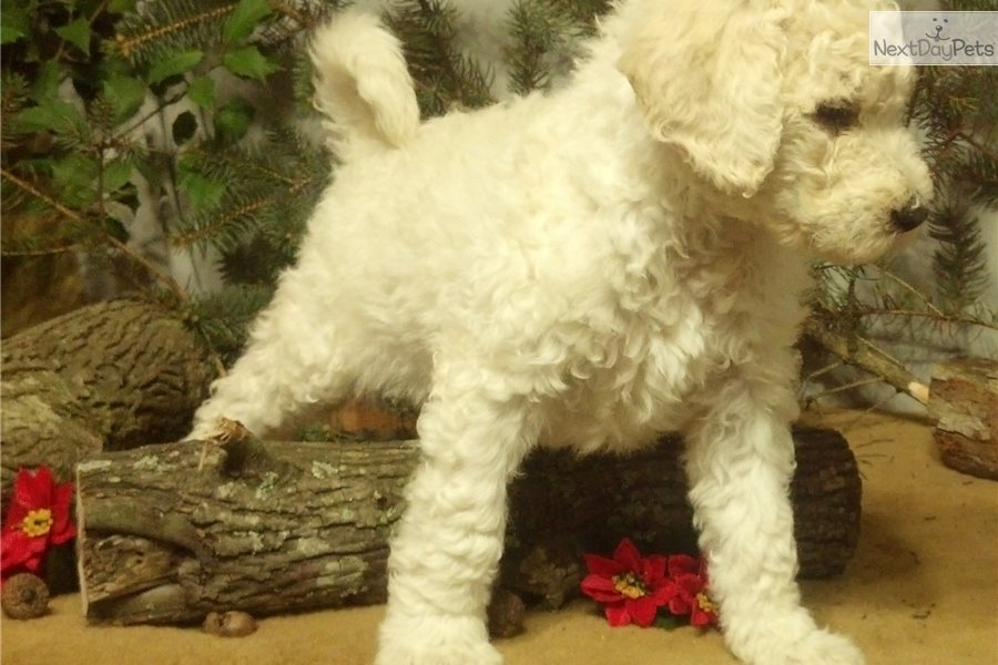 cute Poodle, Standard puppy for sale for $650. Cream Standard Poodle