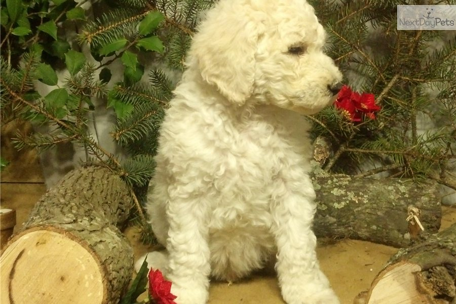 standard poodle in a puppy cut cream or apricot standard poodle in