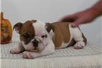 Picture of FRIENDLY ENGLISH BULLDOG: SISSY (F)