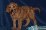 Picture of WONDERFUL F1 GOLDENDOODLE: MEXICO (M)