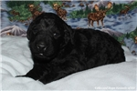 Picture of LIKABLE F1b GOLDENDOODLE: JACKAROO (M)