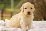 English Golden Retriever for sale