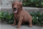 Picture of ACTIVE MINI GOLDENDOODLE: ALAN (M)