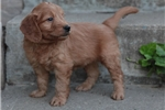 Picture of FRIENDLY MINI GOLDENDOODLE: ABE (M)