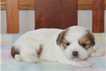 Picture of LOVABLE LHASA APSO: KEETON (M)