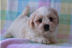 Picture of PERSONABLE LHASA APSO: DUSTIN (M)