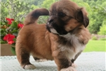 Picture of HUGGABLE LHASA APSO: DIANE (F)