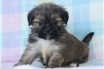 Picture of LOYAL LHASA APSO: CRANEY (F)
