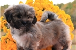 TRUSTWORTHY LHASA APSO: BRANDY (M) | Puppy at 8 weeks of age for sale