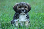 LOVABLE LHASA APSO: COREY (M) | Puppy at 10 weeks of age for sale