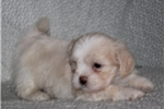 Picture of PERSONABLE LHASA APSO: LOGAN (M)