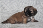 Picture of LOYAL LHASA APSO: BROWNIE (F)