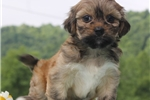 Picture of AWESOME LHASA APSO: TONYA (F)