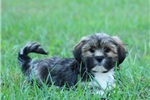 Picture of LOVABLE LHASA APSO: COREY (M)