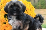 Picture of TRUSTWORTHY LHASA APSO: CLINTON (M)